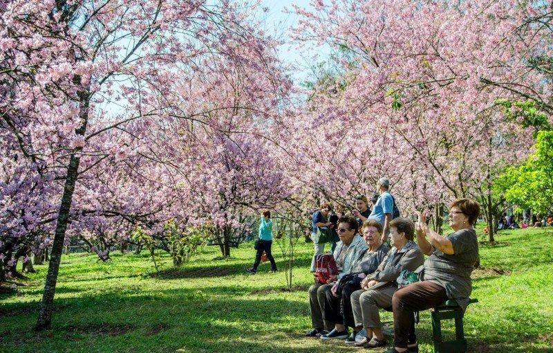 41ª Festa das Cerejeiras acontece no Parque do Carmo em SP